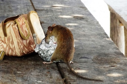 residential rodent exterminators Timperley mouse eating left over food from tin foil