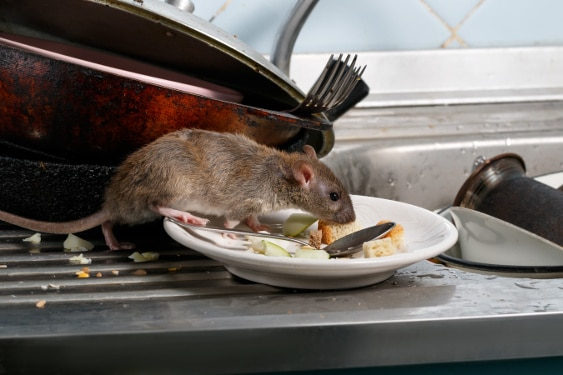 mice exterminators mouse on plate on sink with food scraps