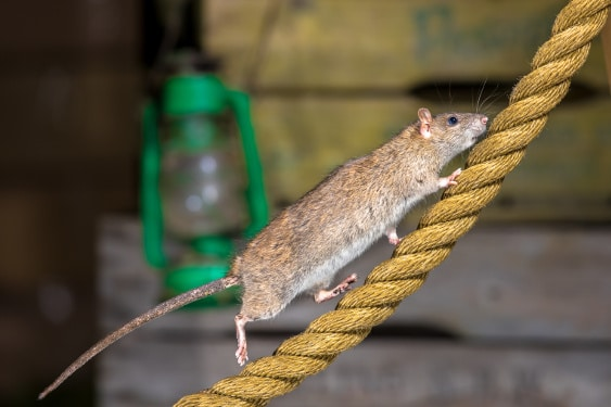 rat control a rat running up a length of rope in a factory