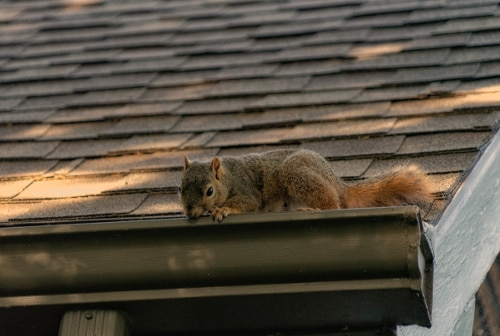 squirrel removal grey squirrel on a house roof
