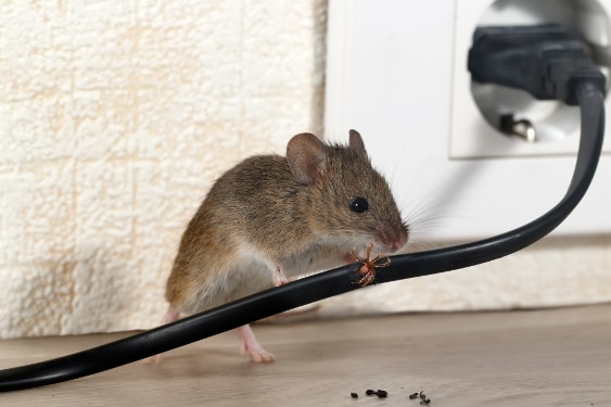 mice exterminators mouse chewing into an electric cable