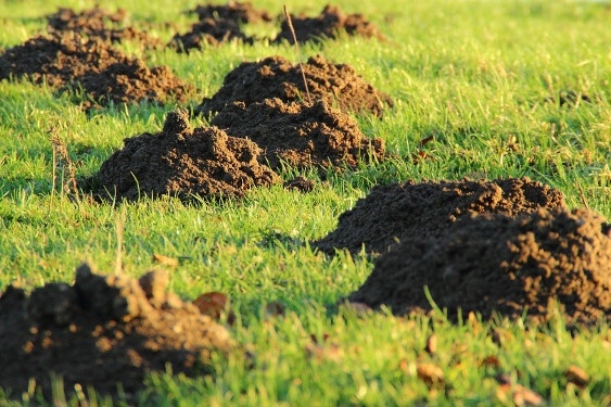 mole exterminators molehills on fairway